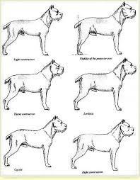 Cane Corso Akc Standard Cane Corso Puppies Cane Corso Dog