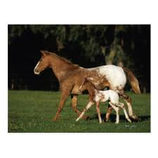 appaloosa mare and foal postcard