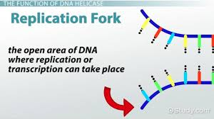 Dna Replication Definition What Type Of Biological Molecule Is Dna Helicase Study Com