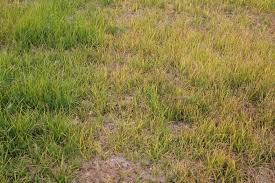 Nutsedge Herbicides Permit Herbicide Guidelines For Use In Field Corn Field