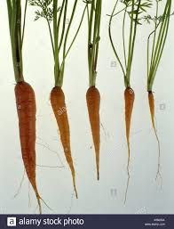 carrot plant stages. Fine Stages CARROTS GROWTH STAGES DAUCUS CAROTASWEET ROCKET HYBRID On Carrot Plant Stages L