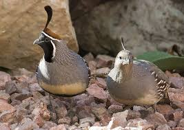 Image result for desert quail