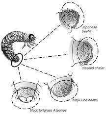 japanese beetles life cycle japanese beetle management in minnesota