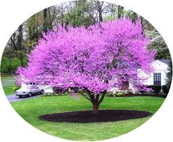 Image result for redbud tree