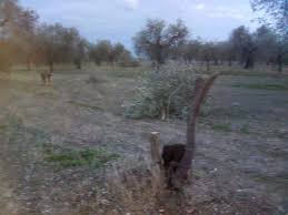 San Severo: Altro caso di ulivi decapitati – La Gazzetta di ...