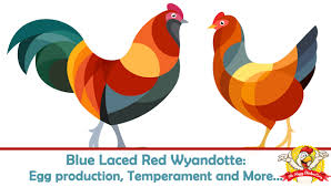 Blue Laced Red Wyandotte Egg Production Temperament And More