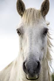 white horse head. Fine Horse Horse Print White Irish Ireland In White Horse Head