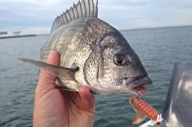 Port Phillip Bay Lure Fishing Session