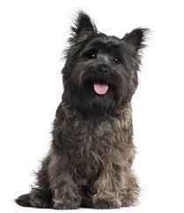 Cairn Terrier Growth Chart Cairn Terrier