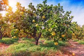 Best Grow Light For Citrus Tree How To Take Care Of A Lemon Tree In The Winter Home Guides