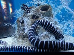 Zebra moray eel (gymnomuraena zebra). Zebra Moray Eel Project Noah