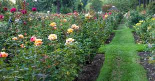 portland rose garden s concerts