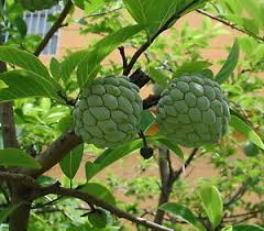 NA DAI Sugar Apple Annona Squamosa Tropical Fruit Tree  EBayAnnona Fruit Tree