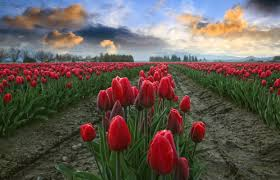 Image result for tulips in washington