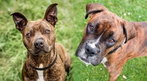 Boxer Vs American Pit Bull Terrier Whats The Difference