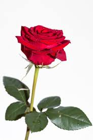 red rose on white background free stock