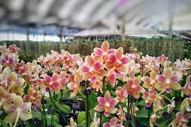 stunning orchid show highlights the best of thailand