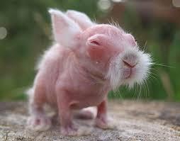rabbit without fur. Interesting Fur Rabbit And Without Fur Bored Panda