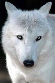 white wolf iphone wallpaper.  White White Wolf In Wolf Iphone Wallpaper