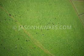 grass aerial texture. cows in grass field, aerial view. texture
