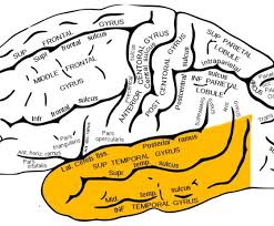 temporal lobe diagram temporal database wiring diagram images