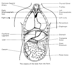 Small Picture Picture Of The Human Body With Organs Human Organs Coloring Pages
