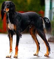 saluki dog. saluki dog breed.jpg t