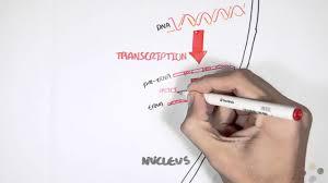 Translation Vs Transcription Venn Diagram Transcription Vs Translation Difference And Comparison