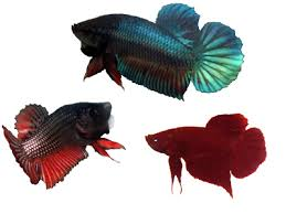 Betta Genetics Chart Betta Fish Information Plakats Veiltails Halfmoon Crowntail