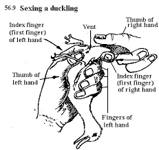 Sexing A Duckling Muscovy Duck Keeping Ducks Backyard