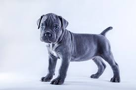 beautiful blue cane corso puppy