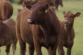 Cow Weight Chart Tips For Improving Profit For Cow Calf Operations Pro