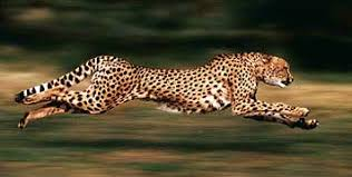 Image result for running cheetahs