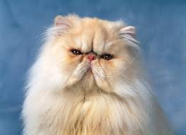 orange persian cat. Fine Orange KimballStock_CAT 01 KH0037 01_preview To Orange Persian Cat S