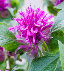 monarda purple lace bee balm purple lace bergamot purple