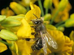 are biofuels worth the investment fuel exhaust disrupts scent signals for honeybees