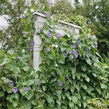 How To Grow Clematis  Gardeneru0027s SupplyClimbing Plant Trellis