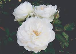 Do You Know Gulabjal Gulkand And Perfumes Are Made Up Of Flower Fragrant Rose Plants