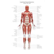 These muscles are able to move the upper limb as they originate at the vertebral column and insert onto. Muscular System Medical Illustrations Ready To Create And License