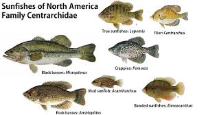 Perch Bream And Sunfish Whats The Difference The