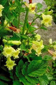 Bignoniaceae in Flora of China @ efloras.org