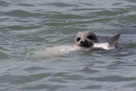 seal vs salmon west end vancouver bc photo cesareb cc