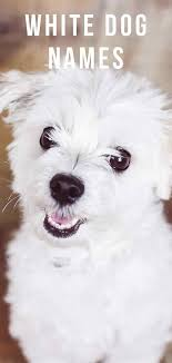white dog names amazing name ideas