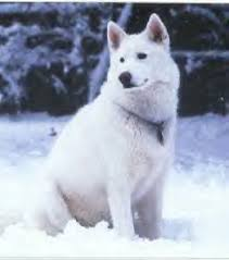 white husky german shepherd mix puppies. Exellent Husky BOGIE For White Husky German Shepherd Mix Puppies
