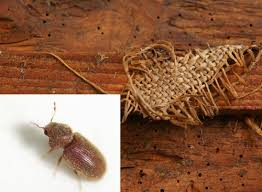 Et particulièrement ceux qui mangent le bois, les xylophages. Reconnaitre Les Insectes Xylophages Ou Insectes Du Bois Algo3d