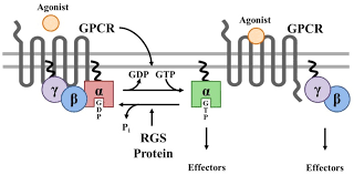 Gpcr Signaling Canonical Regulation Of Gpcr Signaling By Rgs Proteins