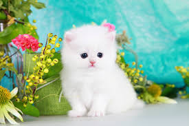 cute white fluffy kittens for sale. Contemporary White Cashmere White Persian Kitten With Cute Fluffy Kittens For Sale E