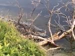 In rare photo, crocodile suns itself with alligator at Florida ...