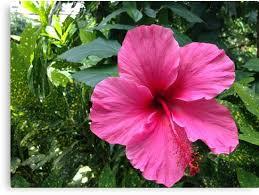 """Résultat de recherche d'images pour """"fleur hawaienne"""""""