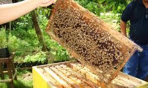 prospek-budi-daya-lebah-madu--manis-dan-menguntungkan